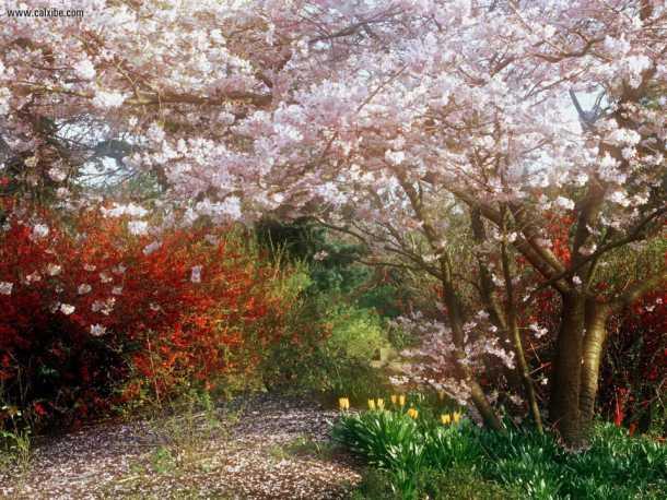 Fioritura dei ciliegi Giappone