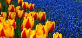 Olanda tour fiori e Keukenhof