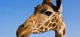San Valentino Kenya villa giraffe