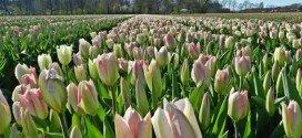 Tulipani Amsterdam maggio 2014