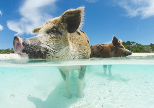Bahamas vacanze a Pig Island