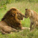Safari guida