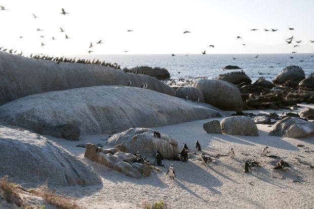 Boulder's Beach pinguini