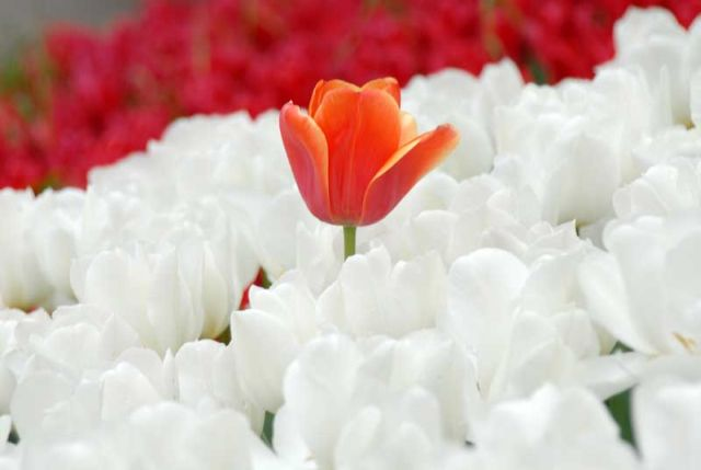 Tulipani rossi e bianchi a Istanbul