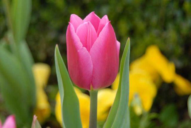 fioritura tulipani in turchia