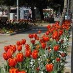 Festival Tulipani Istanbul 2018 Turchia